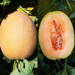 Melon Ofek 1000semillas,...