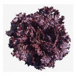 Lechuga Black Rose 50gr,...