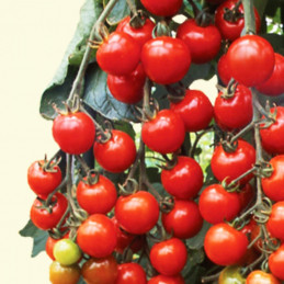 Tomate Suncherry Supreme...